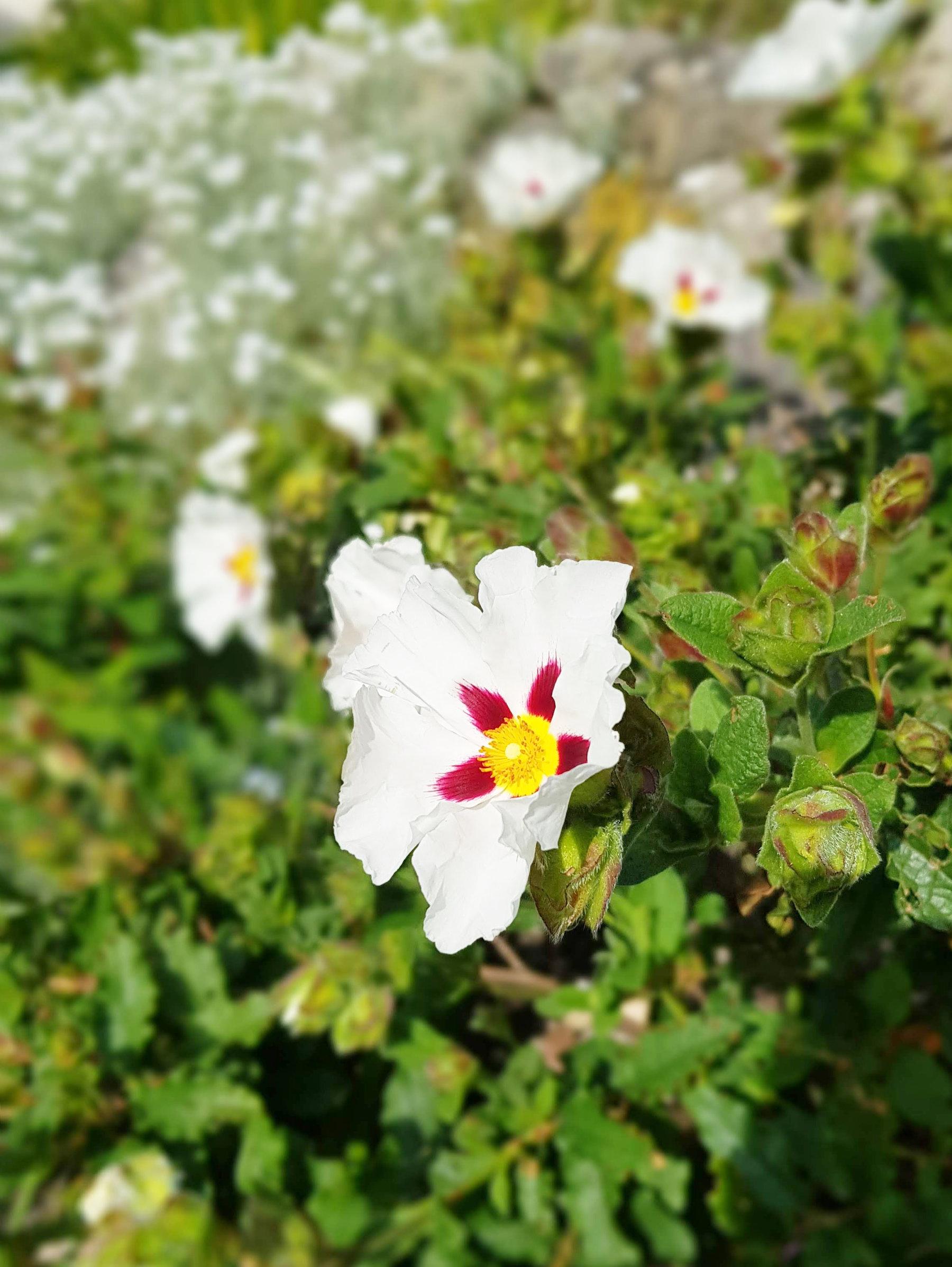 Cistus in flower